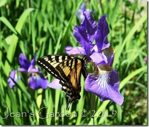 Iris with swallowtail 2019