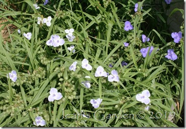 blues border tradescantia