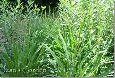 daylily buds