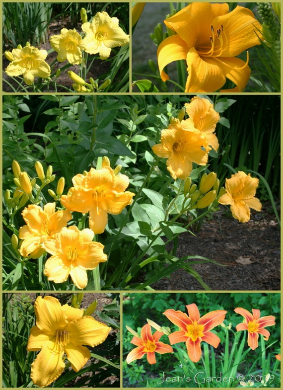 early season daylilies