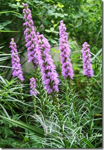 Liatris spicata violet