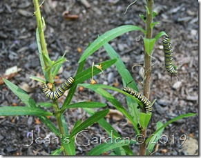 butterfly weed caterpillars