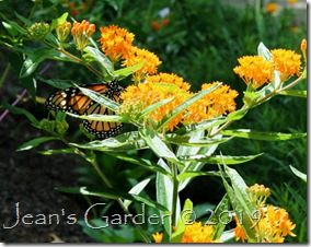 fresh butterfly on butterfly weed