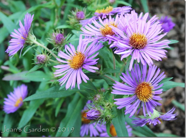 Front Slope NE asters