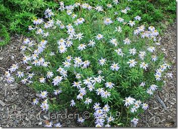 Ionactis linarifolia clump