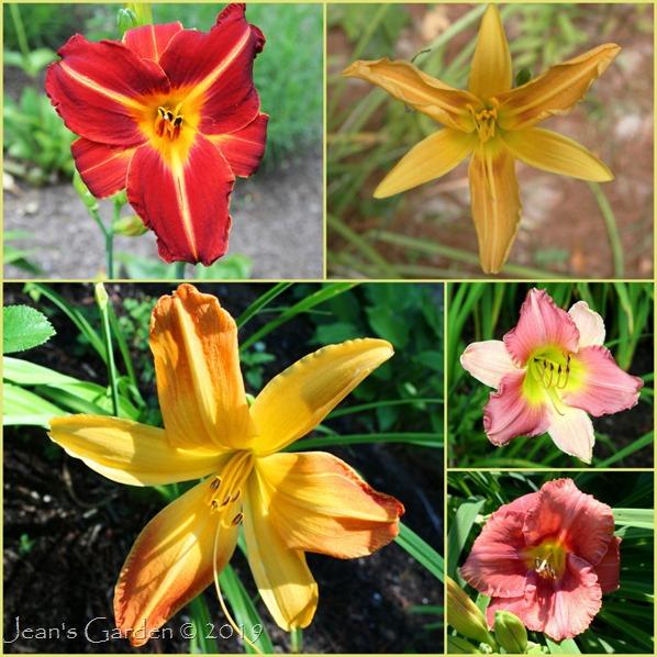 late daylilies