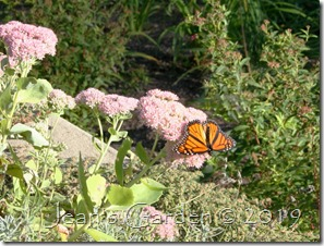 monarch on sedum
