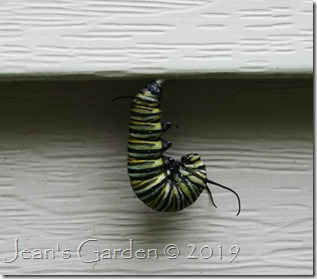 pupating monarch