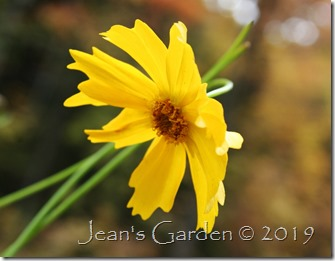 coreopsis lanceolata october