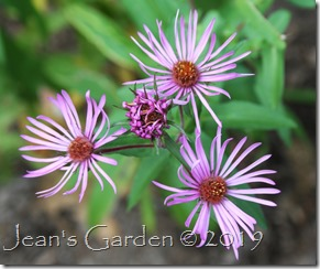 lavender seed-grown aster