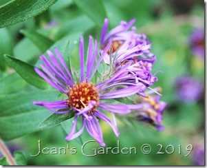 violet seed-grown aster