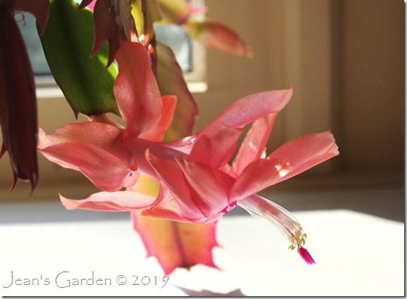 Thanksgiving cactus bloom