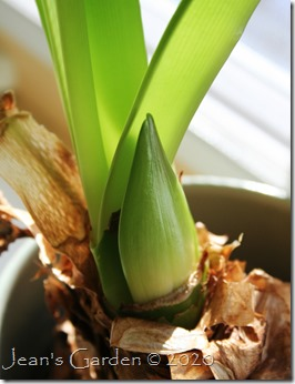 amaryllis first bud 2020