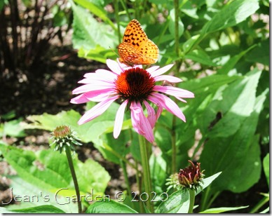 Echinacea with fritillary