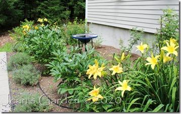 fragrant garden daylilies