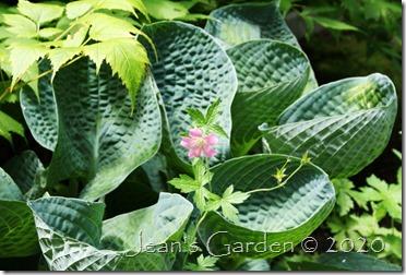 geranium with hosta