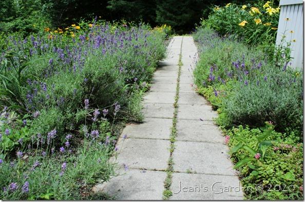 lavender walk july 2020