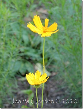 coreopsis still blooming