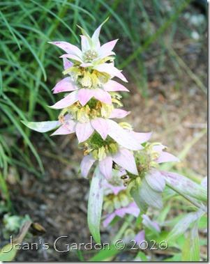monarda punctata still blooming