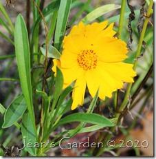 coreopsis lanceolata late bloom