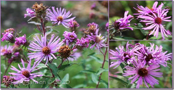 fading asters