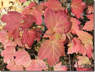 viburnum fall foliage