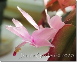 cactus flower 2020