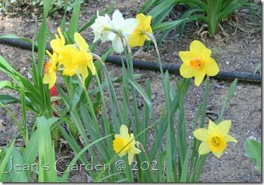 fading daffodils