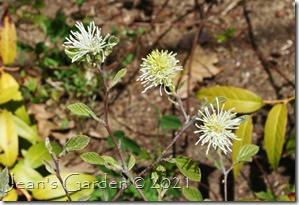 fothergilla flowers 2021