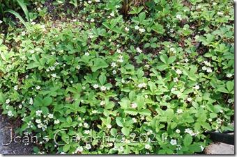Fragaria groundcover