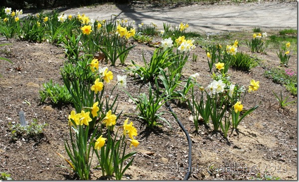 front slope daffodil display