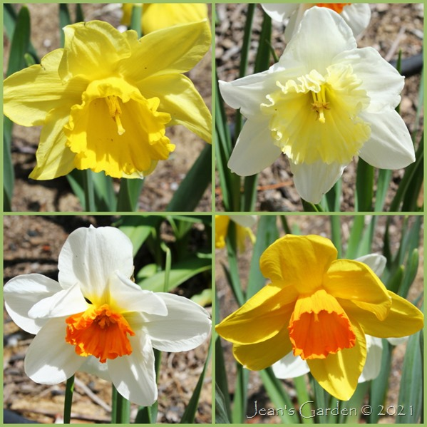 Front Slope Daffodils