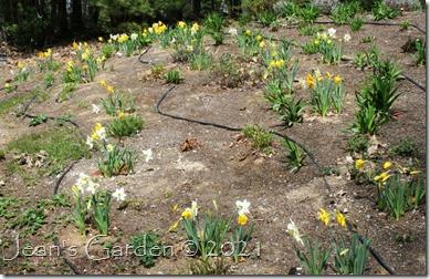 hillside of daffodils