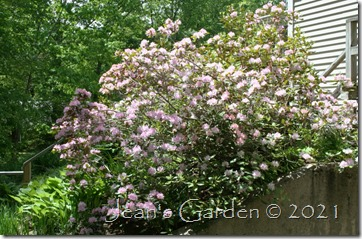 back slope rhododendron 2021