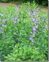 baptisia purple smoke 2021