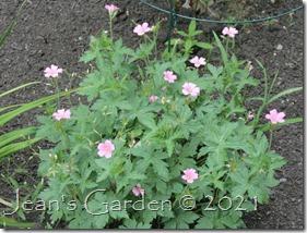 front border geranium oxonianum