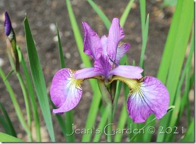 Iris Hubbard flower