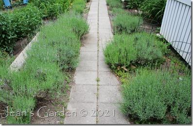 lavender walk buds