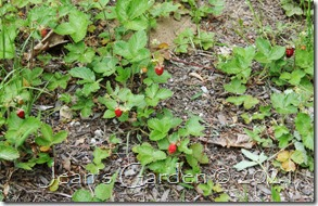 ripe strawberries 2021