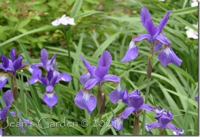 violet siberian iris