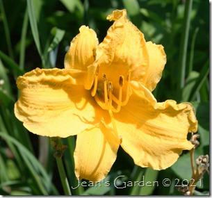 Boothbay Harbor Gold last flower
