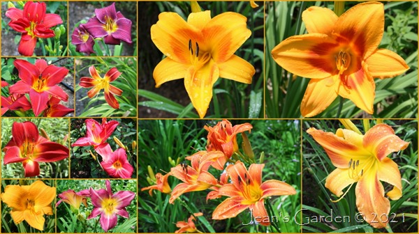 front slope hot color daylilies July