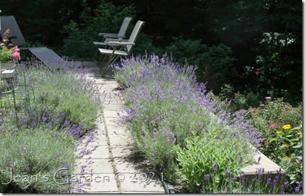 lavender walk 7-5-21