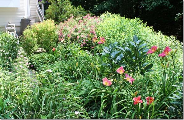 Patio daylilies July 2021