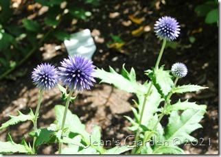 echinops flowers