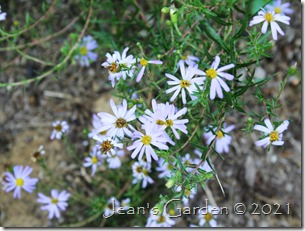 flax-leafed aster