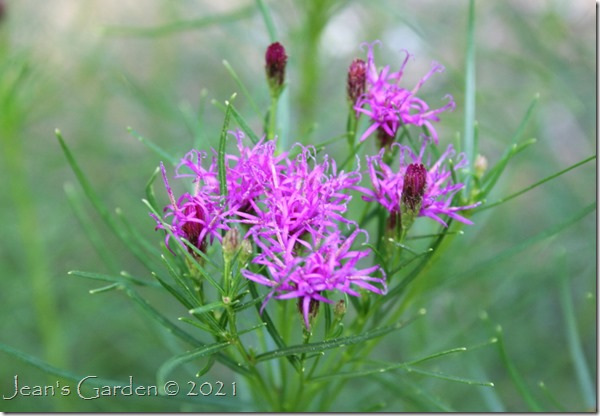 Iron butterfly flowers